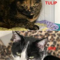 Tulip and Iris*